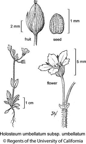 botanical illustration including Holosteum umbellatum subsp. umbellatum