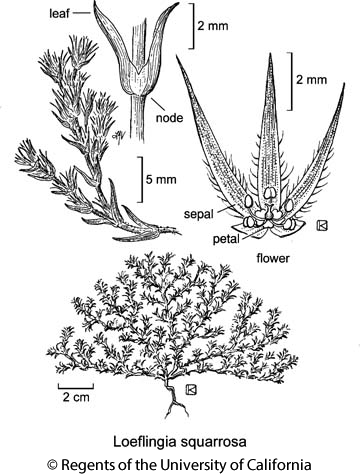botanical illustration including Loeflingia squarrosa