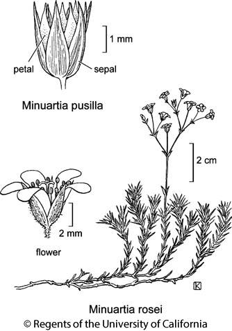 botanical illustration including Minuartia rosei