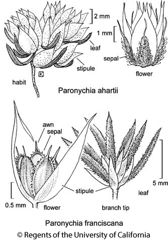 botanical illustration including Paronychia franciscana