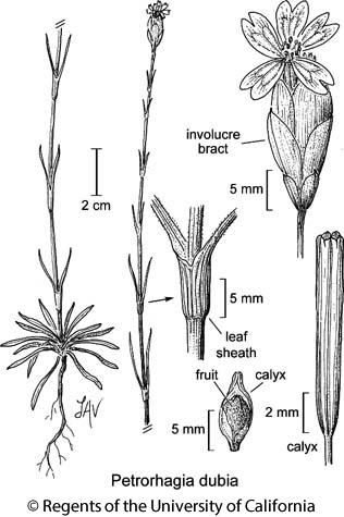 botanical illustration including Petrorhagia dubia