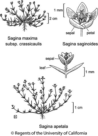 botanical illustration including Sagina maxima subsp. crassicaulis