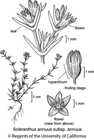 botanical illustration including Scleranthus annuus subsp. annuus