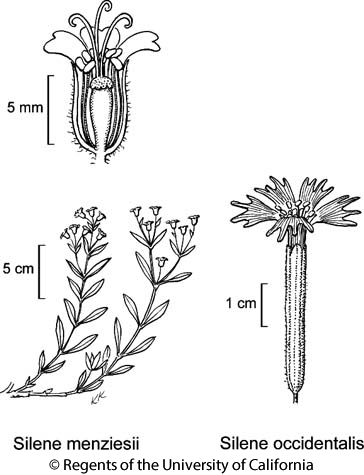 botanical illustration including Silene menziesii
