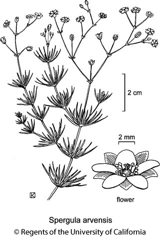 botanical illustration including Spergula arvensis