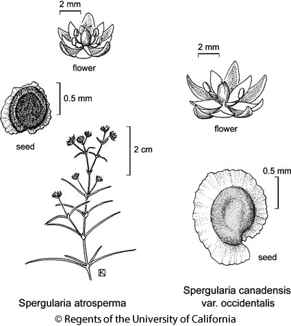 botanical illustration including Spergularia atrosperma