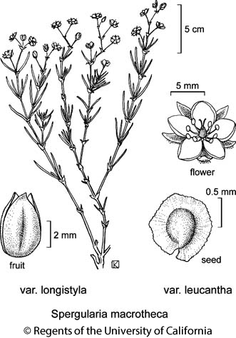 botanical illustration including Spergularia macrotheca var. longistyla