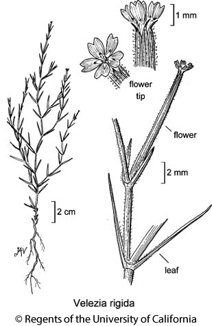 botanical illustration including Velezia rigida