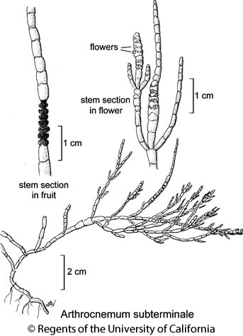 botanical illustration including Arthrocnemum subterminale
