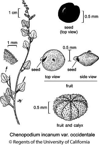 botanical illustration including Chenopodium incanum var. occidentale