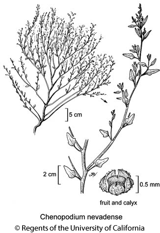 botanical illustration including Chenopodium nevadense