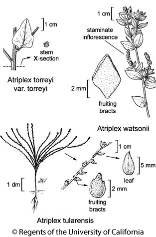 botanical illustration including Atriplex torreyi var. torreyi