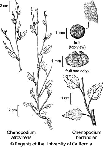 botanical illustration including Chenopodium atrovirens