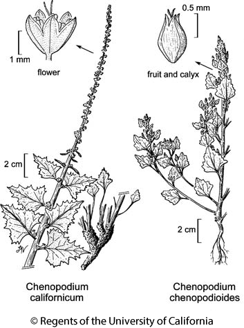 botanical illustration including Chenopodium californicum