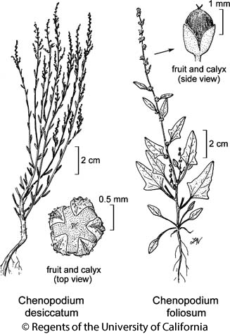 botanical illustration including Chenopodium desiccatum