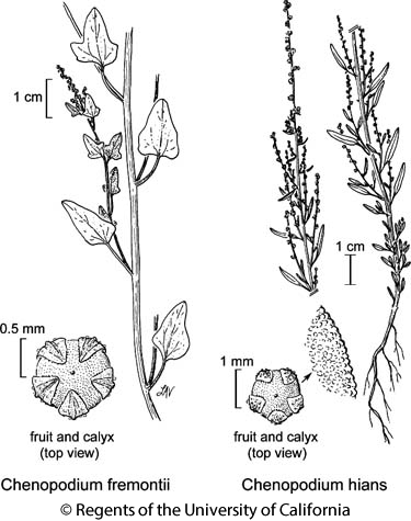 botanical illustration including Chenopodium hians