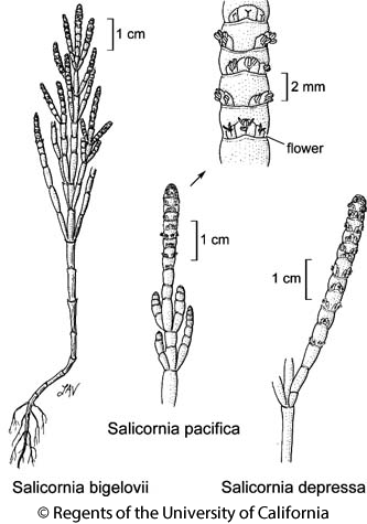 botanical illustration including Salicornia pacifica