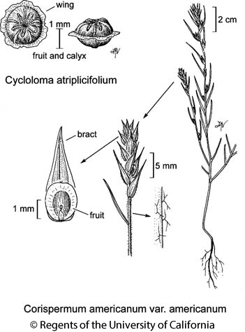 botanical illustration including Corispermum americanum var. americanum