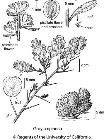botanical illustration including Grayia spinosa