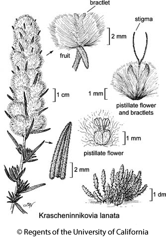 botanical illustration including Krascheninnikovia lanata
