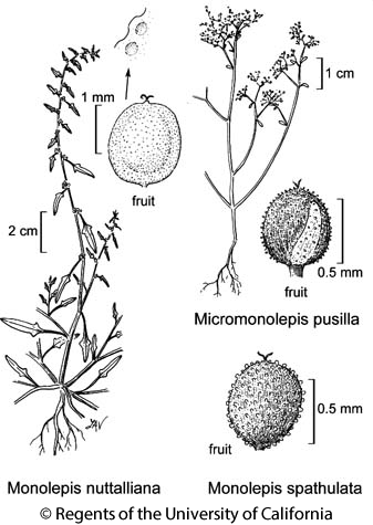 botanical illustration including Monolepis nuttalliana