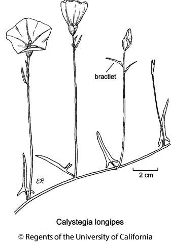 botanical illustration including Calystegia longipes