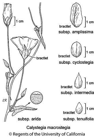 botanical illustration including Calystegia macrostegia subsp. arida