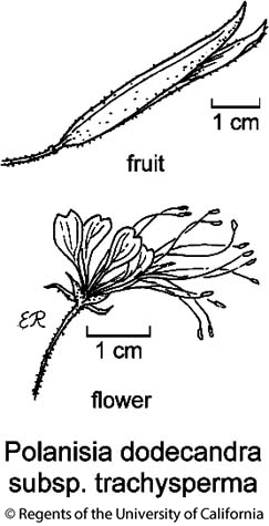 botanical illustration including Polanisia dodecandra subsp. trachysperma