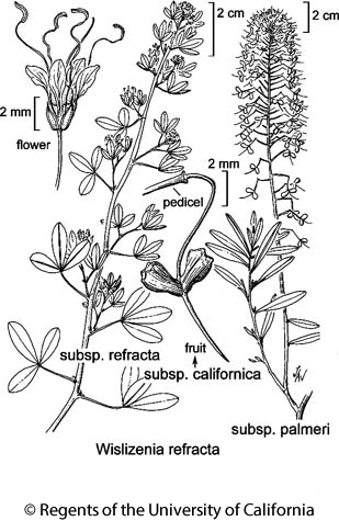 botanical illustration including Wislizenia refracta subsp. palmeri