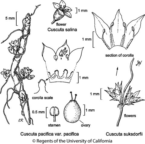 botanical illustration including Cuscuta pacifica var. pacifica