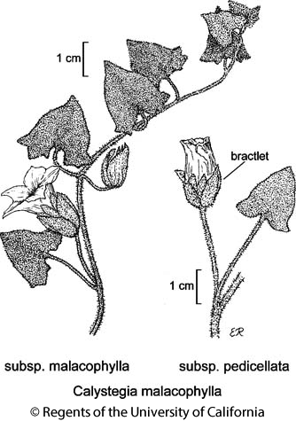 botanical illustration including Calystegia malacophylla subsp. malacophylla