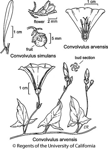 botanical illustration including Convolvulus arvensis