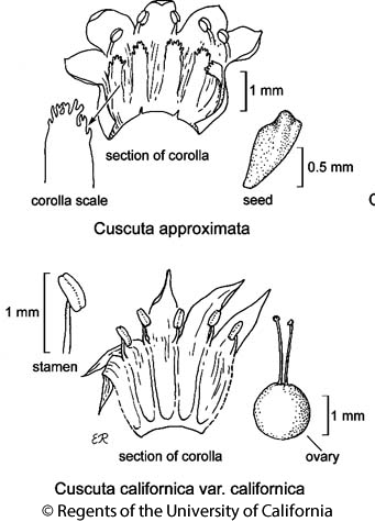 botanical illustration including Cuscuta approximata