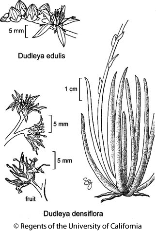 botanical illustration including Dudleya edulis