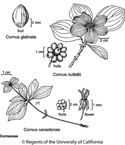 botanical illustration including Cornus canadensis