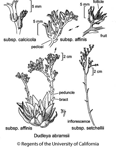 botanical illustration including Dudleya abramsii subsp. affinis