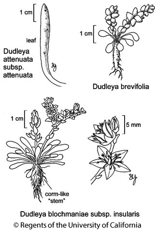 botanical illustration including Dudleya attenuata subsp. attenuata