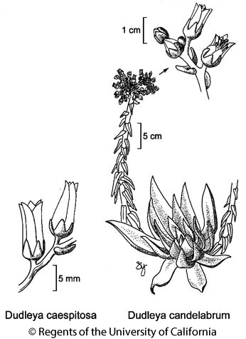 botanical illustration including Dudleya candelabrum