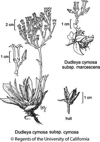 botanical illustration including Dudleya cymosa subsp. marcescens