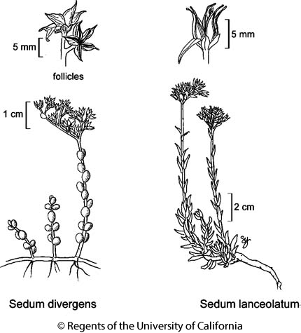 botanical illustration including Sedum lanceolatum