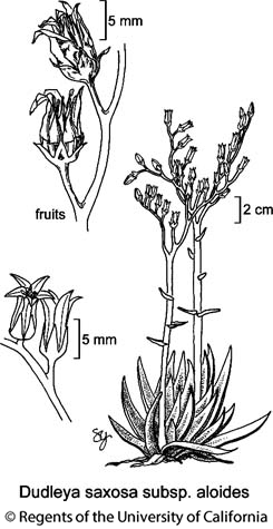 botanical illustration including Dudleya saxosa subsp. aloides