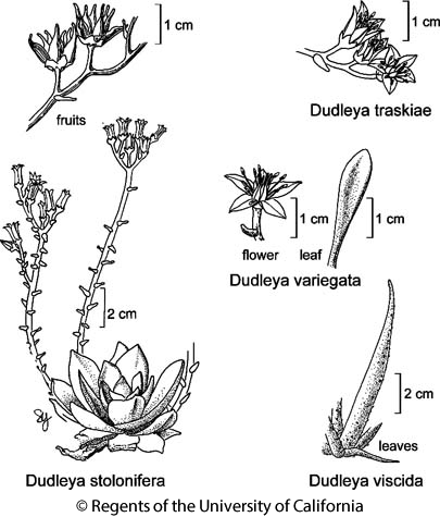 botanical illustration including Dudleya traskiae