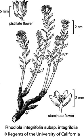 botanical illustration including Rhodiola integrifolia subsp. integrifolia