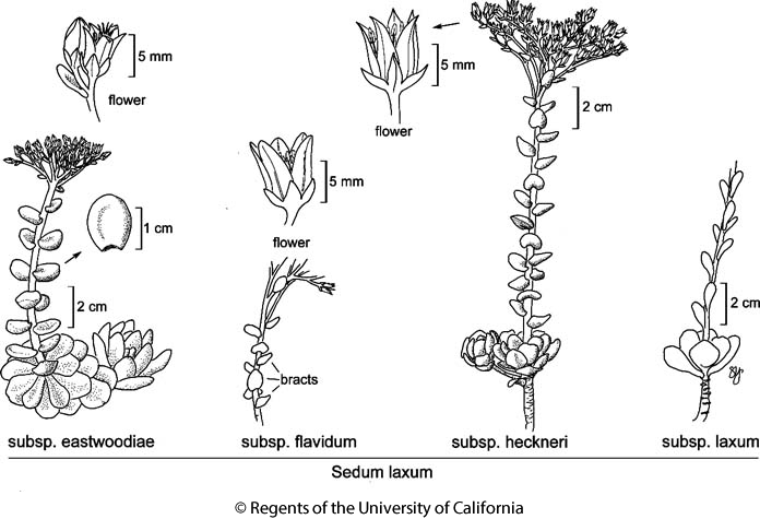 botanical illustration including Sedum laxum subsp. eastwoodiae