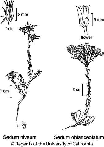 botanical illustration including Sedum oblanceolatum