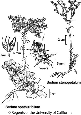 botanical illustration including Sedum spathulifolium