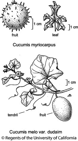 botanical illustration including Cucumis melo var. dudaim