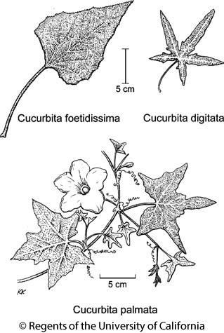 botanical illustration including Cucurbita palmata