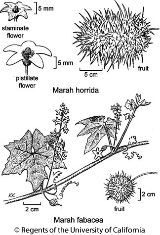 botanical illustration including Marah fabacea