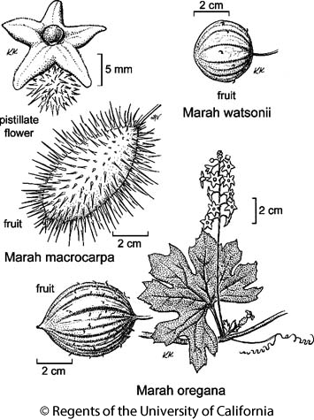 botanical illustration including Marah macrocarpa